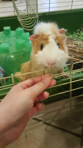1yr old male guinea pig + Cage + Food + Accessories, etc
