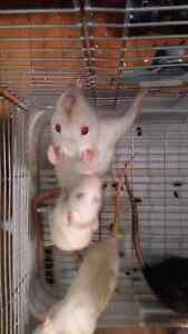 Rats for adoption