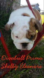 Chiots Bulldog Anglais Divabull