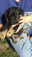 Rotti / Sheperd pups