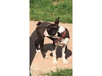 Bostons terrier