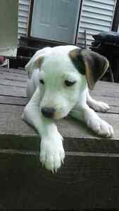 Jack Russell chiot puppy