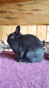 Pedigree Netherland Dwarfs (Prices in ad)