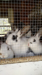 Pet or meat rabbits