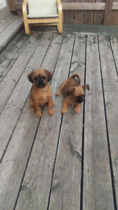 Bouncing baby chihuahua X Brussels griffon pups very rare breed