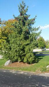Free evergreen trees Kitchener / Waterloo Kitchener Area image 1