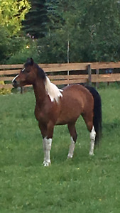 9 year old Anglo Arab Gelding