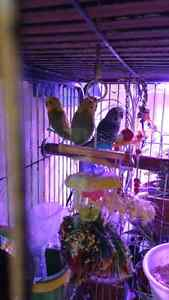 3 budgies and cage for sale London Ontario image 1
