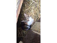 Multicoloured cross breed Bengal female kitten