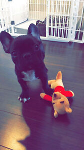 Black, pure bred, male french bulldog puppy