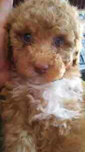 Gorgeous Mini Poodle non shedding, Cage, Food