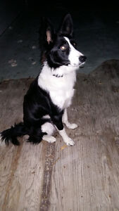 Border Collie Reg