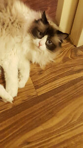 LILY RAG DOLL CAT NEEDS A NEW LOVING HOME