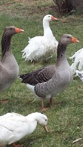 Pair of Grey Toulouse Geese