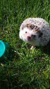 3 year old hedgie London Ontario image 1