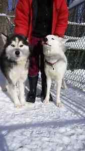 Portee a venir de husky/ malamute