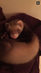 Male Baby Ferret for Rehoming