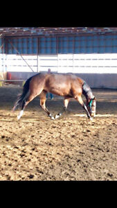 Registered Thoroughbred filly for sale