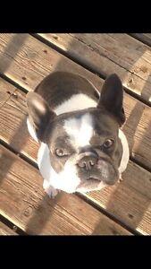 Beautiful French Bulldog Female