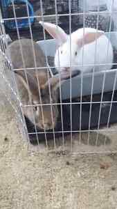 Giant flemish bunnies for sale