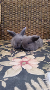 2 ADORABLE Charcoal Grey Mini Lop Bunny Rabbits AVAILABLE