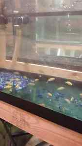 Yellow labs cichlids