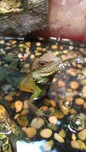 Male Water Dragon with Large Terrarium Peterborough Peterborough Area image 4