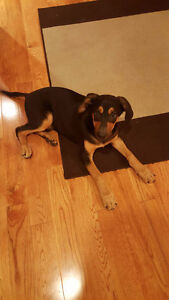 ROTTWEILER/GERMAN SHEPHERD MIX PUPPY FOR SALE MUST BE GONE ASAP