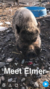 Intact male micro pig for sale