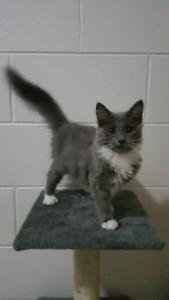 16 Week Old Kitten & Accessories for Sale