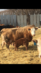 Top quality heifers and cows with calves at foot