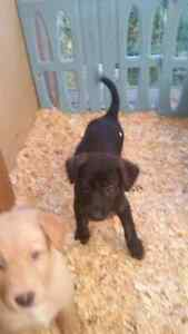 Lab  pups ready to go