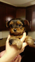 Yorkshire Terrier puppie for sale