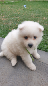 Pure Bred Japanese Spitz Puppies!!
