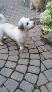 Lovely Maltese Available for Adoption!