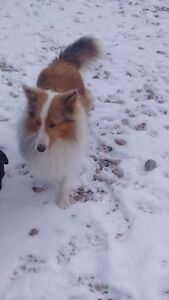 CKC REGISTERED MALE SHELTIE!!