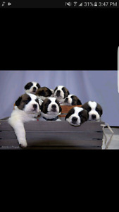9 Beautiful Saint Bernard Puppies