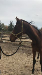 TB yearling colt for sale