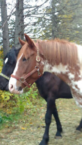 7 year old Quarter horse paint