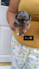 1 Meryl Chihuahua x Jack Russell Boy Looking For His Forever Home