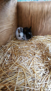 Purebred Mini Rex Kitts for Sale