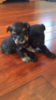 Purebred Mini Schnauzer puppies - Ready May 5th