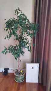 Ficus tree,  houseplant