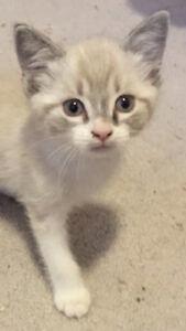 Darling 8 week old male lynx-point ragdoll-cross kitten