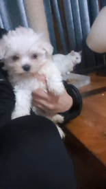 gorgeous Korean Maltese puppy ready in 2 weeks