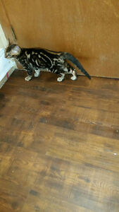Purebred Marble male Bengal kitten