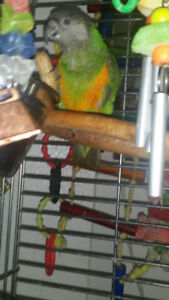 Only $600!! YOUNG SENEGAL PARROT PET or BREEDING