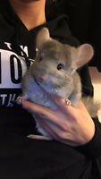 Friendly Chinchilla Needs New Home