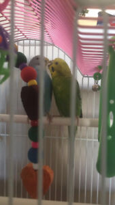 2 beautiful parakeets