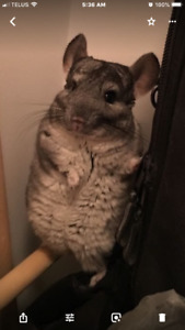 Rehoming 4 year old Chinchilla